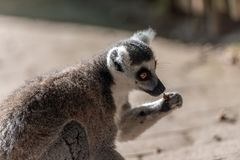 Lemur catta eat alone in a park. And looking sad stock photo