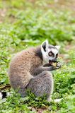 Lemur catta eating Stock Images