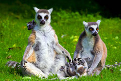 Lemur Catta Family. Family of the ring-tailed lemurs (latin name: Lemur catta) on a green meadow Stock Photo