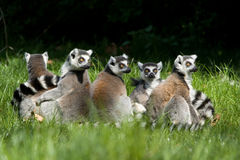 Lemur catta group. Group of ring tailed lemurs sitting in the grass Royalty Free Stock Photo