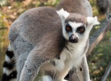 Lemur catta Stock Photos