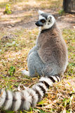Lemur catta Royalty Free Stock Photography