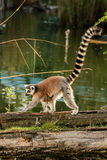 Lemur catta. With long striped tail Royalty Free Stock Images