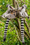 Lemur catta of Madagascar Stock Image