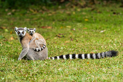 Lemur catta of Madagascar Stock Images