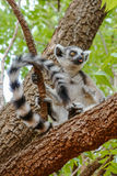 Lemur catta of Madagascar Stock Photos