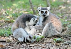 Lemur catta (maki) of Madagascar Stock Images