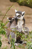 Lemur catta mother with her young one. A lemur catta mother with her young one. This primates inhabit the forests of Madagascar stock photos