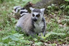 Lemur Catta Royalty Free Stock Image