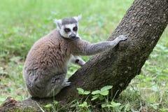Lemur Catta Stock Image