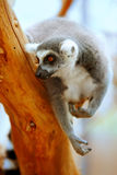 Lemur Catta On A Tree Stock Photos