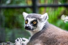 lemur catta - portrait of the animal in the zoo royalty free stock image