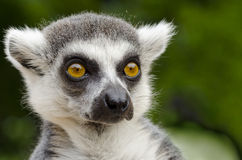 Lemur catta portrait Stock Photos