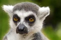 Lemur catta portrait Stock Images