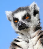 Lemur catta Stock Photo