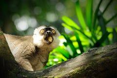 Lemur catta (Ring angebundener Lemur) Lizenzfreie Stockfotos