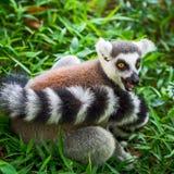 Lemur catta. Ring-tailed, lemur Lemur catta Royalty Free Stock Photos