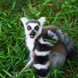 Lemur catta Royalty Free Stock Images