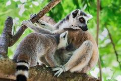 Lemur catta. Stock Photography