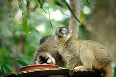Lemur catta (ring tailed lemur) Stock Image