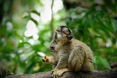 Lemur catta (ring tailed lemur) Royalty Free Stock Photo