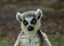 Lemur catta / Ring Tailed Lemur Royalty Free Stock Photos