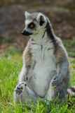 Lemur catta / Ring Tailed Lemur Stock Image
