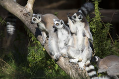 Lemur catta,  Ring-tailed Lemur sunning in the morning sun Stock Photos