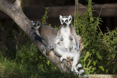 Lemur catta,  Ring-tailed Lemur sunning in the morning sun Royalty Free Stock Images