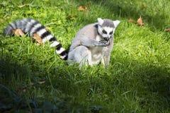 Lemur catta,  Ring-tailed Lemur sunning in the morning sun Royalty Free Stock Images