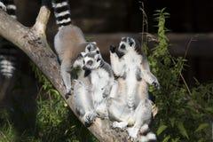 Lemur catta,  Ring-tailed Lemur sunning in the morning sun Stock Photo