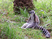 Lemur catta sitting in the grass Royalty Free Stock Photo