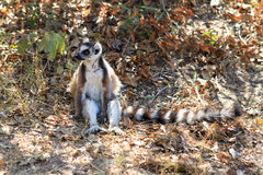 Lemur Catta sitting Royalty Free Stock Photo