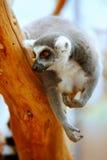 Lemur catta on a tree Stock Photos