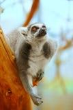 Lemur catta on a tree Royalty Free Stock Photos