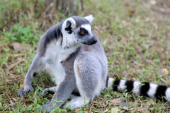 Lemur catta. Wild Madagascar animal - Lemur Catta royalty free stock images