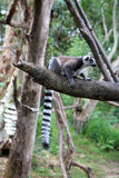 Lemur catta. Wild Madagascar animal royalty free stock images