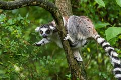 Lemur catta in ZOO. Lemur catta on the tree in ZOO Plzen royalty free stock photo