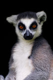 Lemur Cattar Stock Photos
