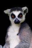 Lemur Cattar Stockfotos