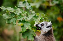 Lemur cattta, ring tailed lemur, feeding on leaves of Uncarina decaryi. Lemur catta are generalist feeder. They eat leaves, flower, fruits and insects Royalty Free Stock Photos