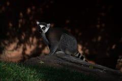 A lemur caught off-guard royalty free stock photos