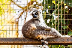 Lemur in cell Stock Images