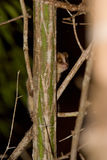 Lemur cinzento do rato Foto de Stock