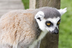 Lemur close up. Cute Lemur intently searching for something in our pockets Royalty Free Stock Photography