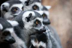 Lemur. Close up shot of lemur portrait Royalty Free Stock Photo