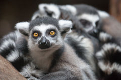 Lemur. Close up shot of lemur portrait Royalty Free Stock Images