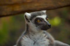 Lemur close-up Stock Photos