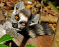 Lemur closeup sunning herself royalty free stock images