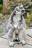 Lemur With Comical Look of Surprise. A lemur, food clutched in hands looking to the right with a comical look of shock and surprise on it`s face, and it`s mouth Stock Images